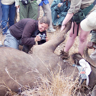 Center for One Health worker helping injured elephant.
